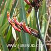 Phormium tenax-4 (SUBENUIX) Tags: phormiumtenax suculentas xanthorrhoeaceae subenuix subenuixcom planta suculent suculenta botanic botanical