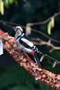 Grote bonte specht /Great spotted woodpecker(Dendrocopos major) (freekblokzijl) Tags: vogel specht woodpecker najaar boom winter voedsel vogelspotten birdwatch canon garden tuin eos7d 70200l28isusm dendrocopus yard