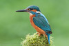 Kingfisher - Male (Alcedo atthis) 'Z' for zoom (hunt.keith27) Tags: watercourses management unsympathetic pollution through degradation habitat winters hard vulnerable still or moving slow alcedoatthis huntfish birds orange blue bright fish stream river water moss fisher kingfisher bird animal