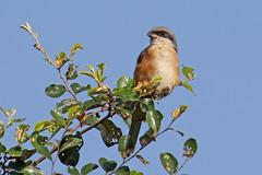 Grey-backed Shrike - Lanius tephronotus (Roger Wasley) Tags: greybackedshrike laniustephronotus kaziranga nationalpark india assam wild bird shrikes asia