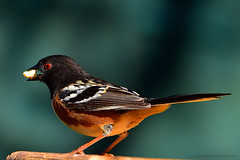 """Spotted-towhee_01 (DonBantumPhotography.com) Tags: wildlife nature animals birds spottedtowhee """"donbantumphotographycom"""" """"donbantumcom"""" """"nikon d7200"""" """"afs nikkor 200500mm f56e ed vr"""""""