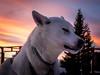 Enjoying the moment (802701) Tags: 2016 201612 arctic arcticcircle december2016 europe kiruna polarnight sweden travel sleddog husky dog