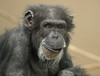 chimpanzee Burgerszoo BB2A6387 (j.a.kok) Tags: chimpansee chimpanzee animal aap ape burgerszoo mammal monkey mensaap pantroglodytes primaat primate africa afrika zoogdier dier
