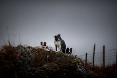 """""""Why are we waiting ... Why are we waiting ..."""" (JJFET) Tags: border collie dog sheepdog herding"""