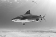 0M9A8575 B&W (PaoloLora) Tags: bahamas bimini tiger beach tigerbeach bull shark bullshark lemon hammerhead dolphin dream dolphindream paolo lora black white blackwhite canon hugyfot dive diving scuba