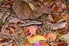 Habu Amongst Fallen Petals 2 (Bob Hawley) Tags: royalpoinciana delonixregia flowers petals pink deadleaves protobothropsmucrosquamatus chinesehabu venomous poisonous snakes reptiles herpetology nature outdoors nikond7100 nikkor35135mmf3545lens taiwan asia nocturnal hunting kaohsiung dagangshanscenicarea