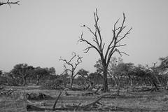 2016 06 25 @khway-2648 (- Stefano Benedetto -) Tags: khway botswana chobe safari africa khwaing18reserve bw nature wildnature wildlife