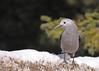 Clark's Nutcracker...#4 (Guy Lichter Photography - 3.7M views Thank you) Tags: clarksnutcracker canon 50d canada alberta banffnationalpark lakelouise wildlife animals birds