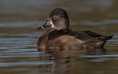 Ring-necked Duck (gilamonster8) Tags: yellow duck bird animal quality arizona wing water waterbird explore explored eos ef400mm56l 7dmarkii desert canon common flickrelite flight fly tucson gray bokeh beyondbokeh blue bill black brown ngc lake park pond