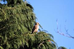 Kestrel perching. (thomaswentworth) Tags: kestrel tree perch perched