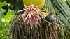 Nikau Palm, New Zealand Pigeon, (Kereru), Morere, New Zealand. (Grumpy Eye) Tags: nikkor 300mm 28 nikon d7000 new zealand pigeon kereru wood nikau palm