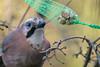 Eichelhäher überlegt, wie er an die Erdnüsse kommt - Jay figuring out how to get at the peanuts (riesebusch) Tags: berlin garten marzahn vögel