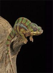Chameleon (adecoleman) Tags: studio indoors captivelight milesherbert flas background colourful colours wildlife