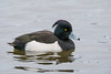 Tufted Duck (Gene Herzberg) Tags: tuftedduck quidividilake stjohns newfoundland