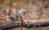 Forest encounter (SamppaV) Tags: redsquirrel eurasianredsquirrel sciurusvulgaris seurasaari helsinki finland canon forest kesy treetrunk staring animalia mammalia rodentia sciurus island orava