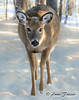A friendly encounter (Anne Marie Fraser) Tags: animal deer snow winter friendly nature forest woods doe pretty