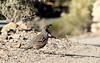 Gambel's Quail -- Male (Callipepla gambelii); Catalina, AZ [Lou Feltz] (deserttoad) Tags: bird wildbird nature arizona wildlife desert quail gamebird behavior