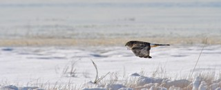 Male Harrier Hunting over Snow