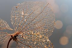 'souvenir of the hydrangea' (Jeannette Maandag) Tags: macro bokeh light fragile flower nature extensiontubes leaf dof closeup fujifilm fujixt20 structure hydrangea dry veins