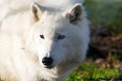 Arctic Wolf (CJT29) Tags: arcticwolf canislupusarctos beenham berkshire cjt29 wolf wolves ukwolfconservationtrust