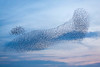 Murmuration on a winter's evening (kenemm99) Tags: rspb winter lancashire 5dmk3 birds leightonmoss canon places kenmcgrath murmuration evening