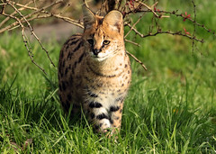 serval blijdorp BB2A6191 (j.a.kok) Tags: serval cat kat leptailurusserval servalcat blijdorp animal mammal zoogdier dier africa afrika