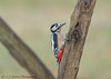 Great spotted woodpecker (ian._harris) Tags: nikon naturaleza sigma 500mmf45 rspb sandy lodge