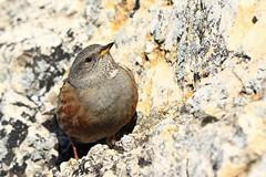 Alpine Accentor (ildikólaskay) Tags: bird alpineaccentor prunellacollaris alpenbraunelle accenteuralpin havasiszürkebegy hungary