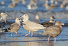 Grote Burgemeester - Larus hyperboreus - Glaucous Gull (merijnloeve) Tags: grote burgemeester larus hyperboreus glaucous gull scheveningen strand den haag nederland meeuw meeuwen zuidholland noordzee