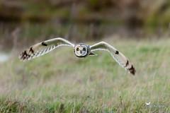 Hibou des marais Asio flammeus •( Hibou brachyote) (JM AVOCETTE) Tags: animaux asioflammeus aves birds hiboudesmarais oiseaux shortearedowl strigidae strigidés strigiformes