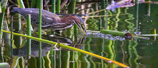 Green Heron hunting on a Winter day  Madrona Marsh Torrance California 116_