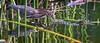 Green Heron hunting on a Winter day  Madrona Marsh Torrance California 116_ (pekabo90401) Tags: madronamarsh birdwatching birdwatchinglosangeles birdsofmadronamarsh wesen southerncaliforniabirds friendship canon camaraderie 80d canon80d 100400 lightroom goodkingwencescarbackedoutonthefeetofstephen greenie greenheron heron huntingbird sump butoridesvirescens greenbackedheron heronvert garcitaverde héron 苍鹭 reiger reiher ヘロン ερωδιόσ airone 헤론 цапля นกกระสา garza cò mondegreen 鳥 marshmonkey sumpmonkey fugl lind oiseau chim ibon 鸟 πουλί 새 avem manu پرنده птица นก happyslidersunday hss pushingthesliders christmasonthemarsh torrance joyeuxcurseurdimanche haumaruratarātapu