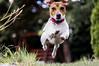 A little bit missed flight of Dexter (Radosław Owczarczak) Tags: jrt jackrussellterrier flying dog dogs mydog m42 helios44