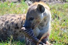DDR_3852 (Santiago Sanz Romero) Tags: kenya wildlife animales ngc