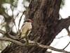 Striped Kingfisher (Halcyon chelicuti) Streifenliest (jaffles) Tags: southafrica südafrika krügernationalpark kruger np wildlife safari natur nature beautiful olympus