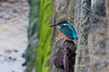 Female Kingfisher (sparrowhawk143) Tags: infocus highquality