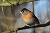 Brambling (image 3 of 3) (Full Moon Images) Tags: rspb sandy lodge thelodge wildlife nature reserve bedfordshire bird brambling