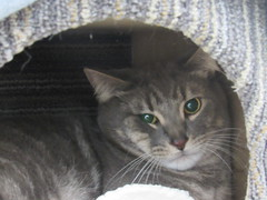 Buttons - 2 year old spayed female