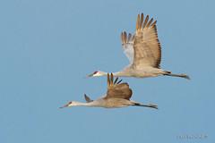 Sandhill crane pair (Earl Reinink) Tags: bird animal outside outdoors wings flight earl reinink earlreinink niagara nikon crane legs sandhillcrane ttztiduaia