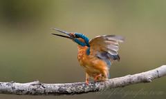 Kingfisher (Dom Fotografia) Tags: domfotografiacom kingfisher alcedo atthis nikon fx d750 angry bird uccello aves domfotografia pescatore