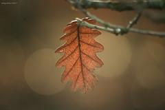 The fate of the leaf (oskaybatur) Tags: fall winter december 2017 oskaybatur nature dof bokeh pentaxk3 pentaxart justpentax türkiye çerkezköy turkey türkei smcpentaxdal55300mmf458ed