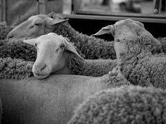 Lacaune (Marcarel) Tags: sheep brebis lacaune tarn france elevage lait milk blackwhite noirblanc bw