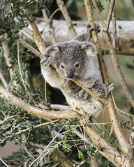 NKOTB (Paul E.M.) Tags: koala joey nkotb queenslandkoalas