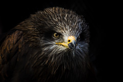hawk.. (ckollias) Tags: zoo zoolife animalthemes animalwildlife animalsinthewild baldeagle beak bird birdofprey blackbackground closeup eaglebird hawk nature night nopeople oneanimal outdoors zooanimals zoology zoophotography