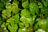 Marsilea mutica, floating four leaf clover (Frank G Cornish) Tags: green fourleafclover lilypond denverbotanicalgardenco plant leaf