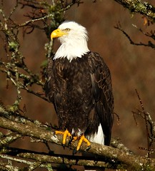 Bald Eagle (jerrygabby1) Tags: perched female lichen branch