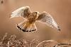 ''Kestrel(f) 20 Dec 2017'' (marcbryans) Tags: portlandbill dorset uk raptors telephoto outdoors flight kestrels light colours birdsofprey nikond500 nikkor200500mmf56e