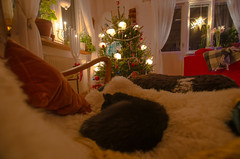 Waiting for the New Year (RdeUppsala) Tags: nosan katt gata cat home hogar hem animal djur uppland uppsala sweden suecia sverige ricardofeinstein winter invierno vinter