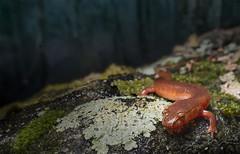 Spring Salamander (cre8foru2009) Tags: springsalamander gyrinophilusporphyriticus amphibian macro wideangle nikon nature