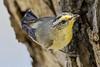 Striated Pardalote 2017-12-31 (7D_182A9832) (ajhaysom) Tags: striatedpardalote pardalotusstriatus woodlandshistoricpark greenvale melbourne australia australianbirds canoneos7dmkii tamron150600mmf563divcusdg2